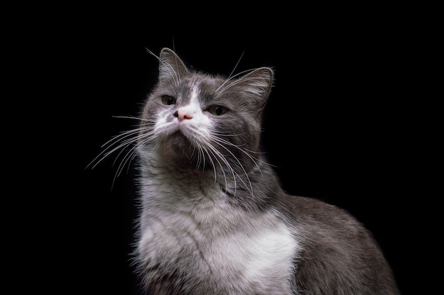 Gray-white cat on a black background