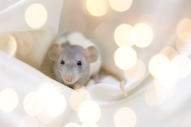 Gray-white rat on a background of yellow spotlights