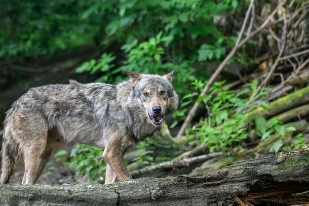 회색 늑대, canis lupus, 여름 빛, 숲에서. 자연 서식지의 늑대