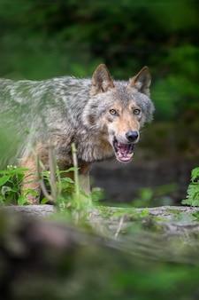 Серый волк, canis lupus, в летнем свете, в лесу. волк в естественной среде обитания