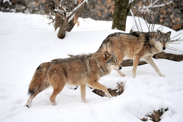겨울에 회색 늑대 (canis lupus)