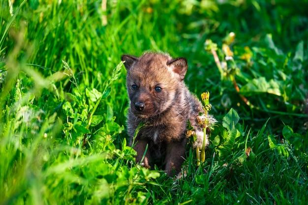 草の中の灰色オオカミ