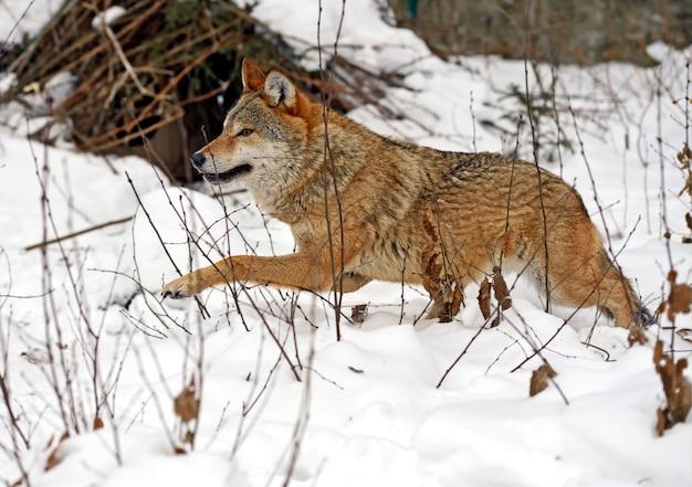 겨울 숲에서 회색 늑대