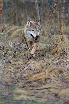 숲에서 회색 늑대