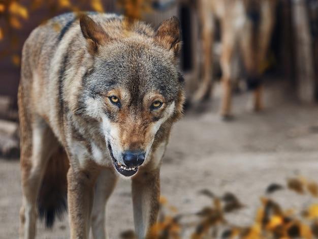 動物園の灰色のオオカミ