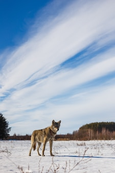 The gray wolf ran into the field and looks at us