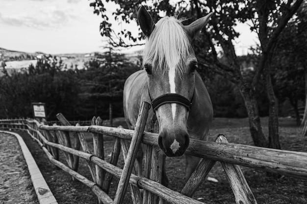 Grayscale closeup shot of a horse in fenced farmland