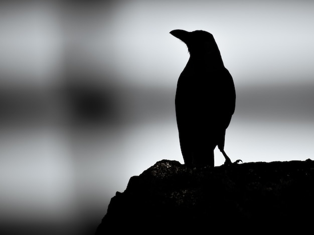 Grayscale of a crow silhouette standing on a rock