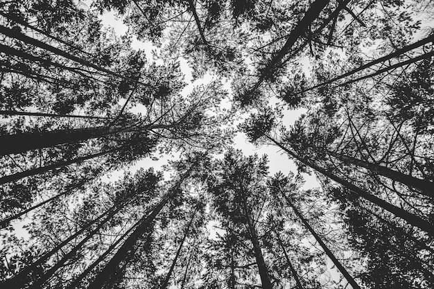 Inquadratura dal basso in scala di grigi di alberi ad alto fusto