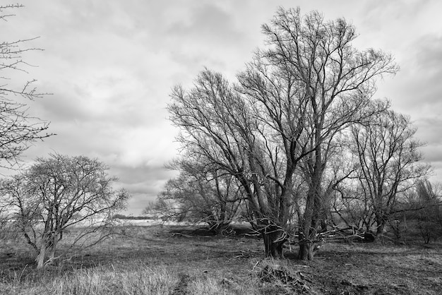 Grayscale shot of bold trees in the countryside