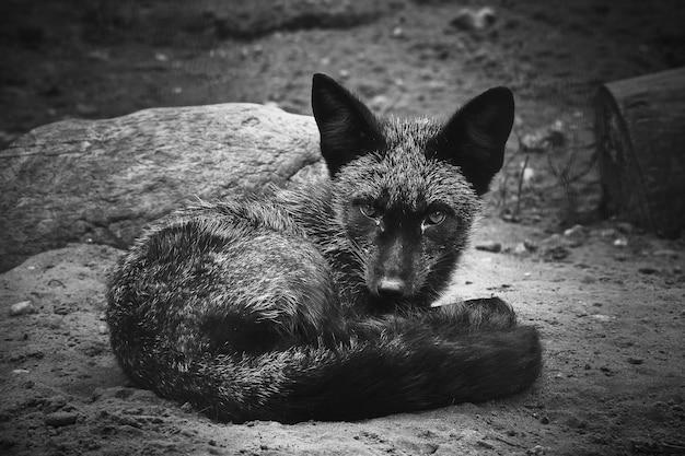 Scatto in scala di grigi di una volpe