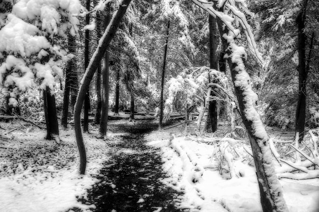 Scatto in scala di grigi o un sentiero in mezzo agli alberi coperti di neve