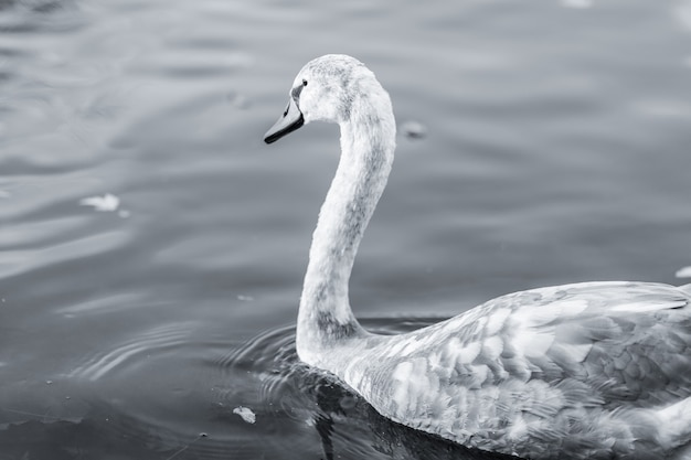 Grayscale shot of a swan swimming on a lake