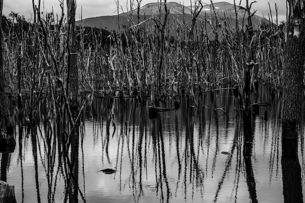 Colpo in scala di grigi di alberi che riflettono sul lago ushuaia in patagonia, argentina