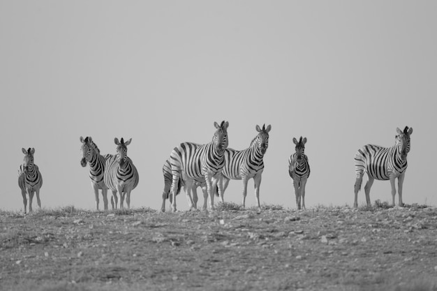 Grayscale shot of zebras standing in the distance