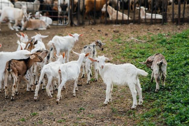 牧場の戸外で山羊と羊の群れを放牧します。牛の放牧、畜産。牛の繁殖。