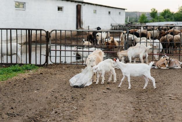 牧場の野外で山羊と羊の群れを放牧する