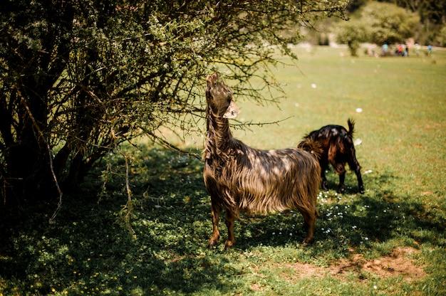 Grazing animals feeding near the green bush