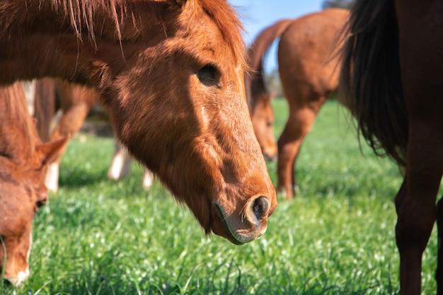 Весной рядом с дикими лошадьми пасется коричневая старая лошадь без глаз в загоне зеленой травы