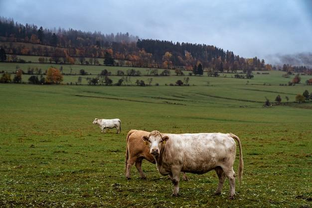 Выпас быков на пастбище осенью.