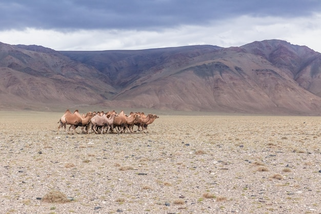 Grazing camels in in steppe of mongolia. the bactrian camel has two humps on its back