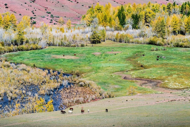 Grazing cattle horses and cows in the valley of the kyzylshin river altai republic russia
