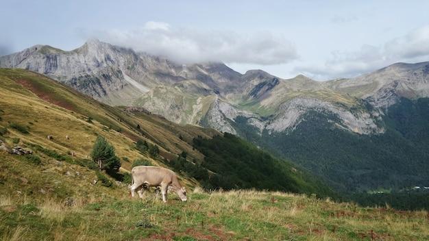 Mucca al pascolo circondata da montagne ricoperte di vegetazione sotto un cielo nuvoloso durante il giorno