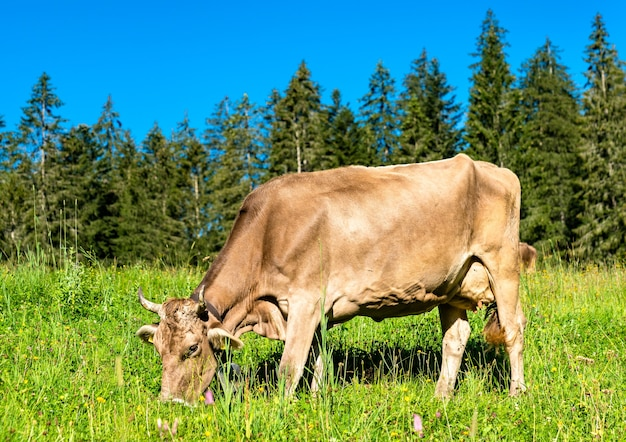Grazing cow in the swiss alps