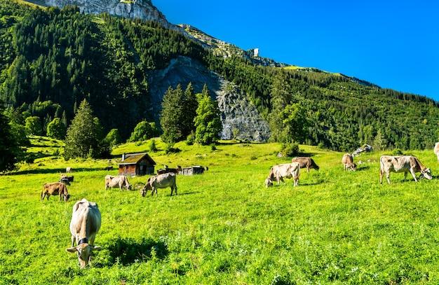 Выпас коров в оберзее в швейцарских альпах
