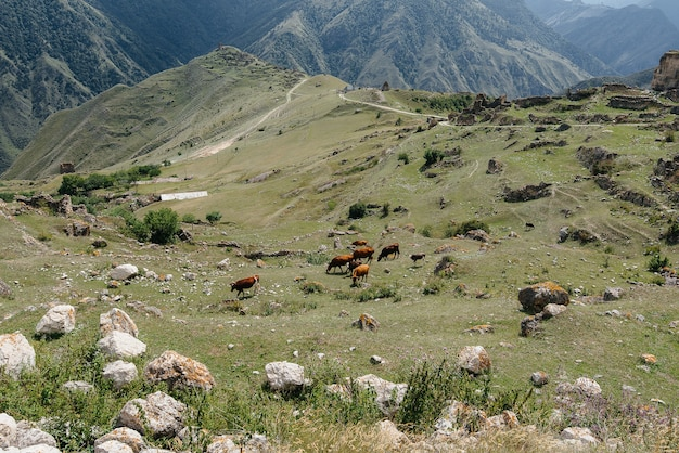 Выпас коров на красивых высокогорных пастбищах
