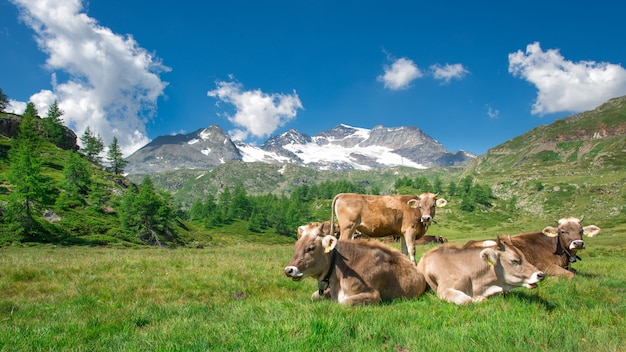 Grazing cows in the swiss mountains