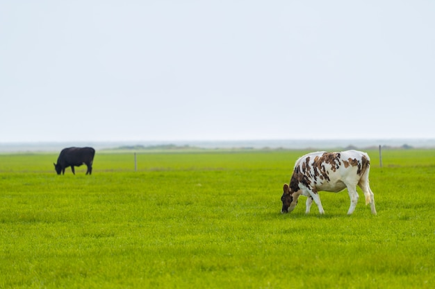 Grazing cows in volcanic landscape , iceland