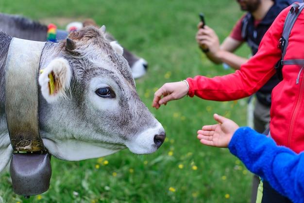 Выпас коров, проезжая мимо группы туристов