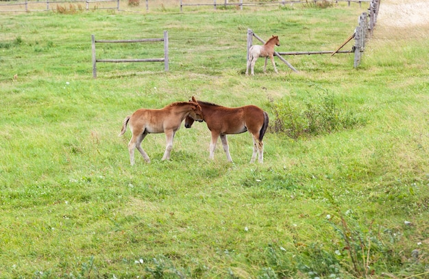 Grazing on a meadow of small three foals who play with each other, the territory is fenced with a wooden fence