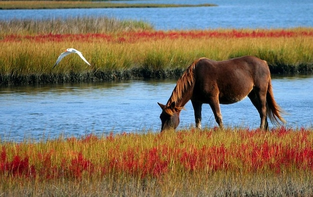 Grazing   wild gull pony swamp marsh horse