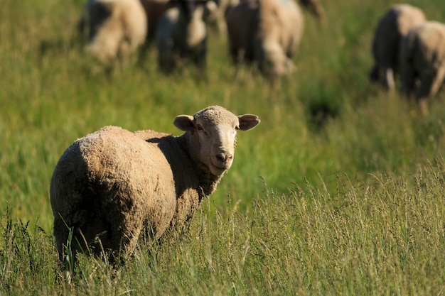 Grazing sheep in grass