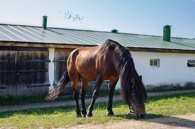 Grazing sorrel horse, eating the green grass near a white stone stable