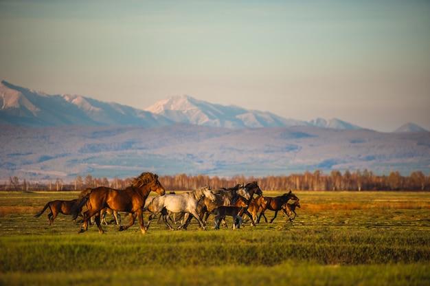 Выпас диких лошадей на склонах горных вершин утром и вечером.