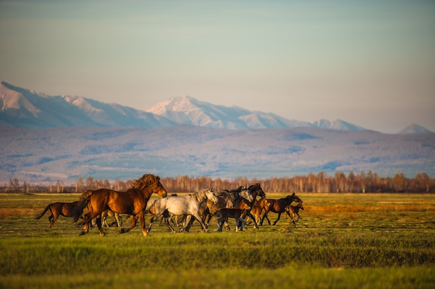 Grazing wild horses on the slopes of the mountain peaks in the morning evening.
