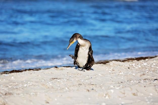 거대한 검은 가마우지, phalacrocorax carb, 바다 옆에서 깃털을 닦습니다.