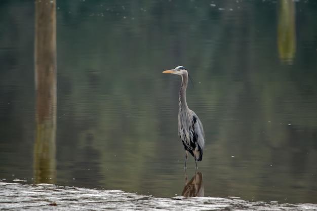 Большая голубая цапля в воде в дневное время