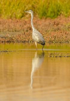Большая голубая цапля гуляет по мелководью в солнечном свете, дикая