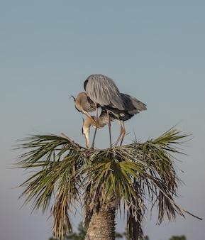 Большие голубые цапли на вершине тропического дерева в центральной флориде