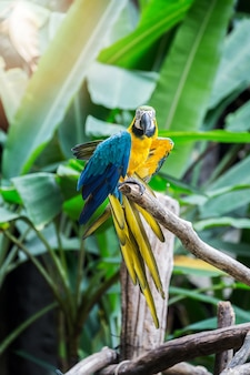 Great blue-yellow macaw sitting on the branch.