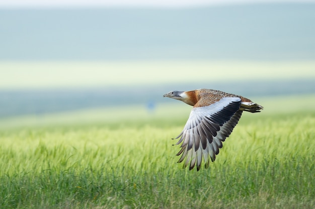 Great bustard flying over a meadow Premium Photo