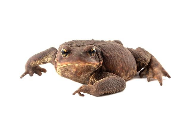 Большая кавказская земляная жаба, изолированные на белом фоне крупным планом