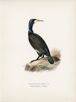 Great cormoran (phalacrocorax carbo) illustrated by the von wright brothers.
