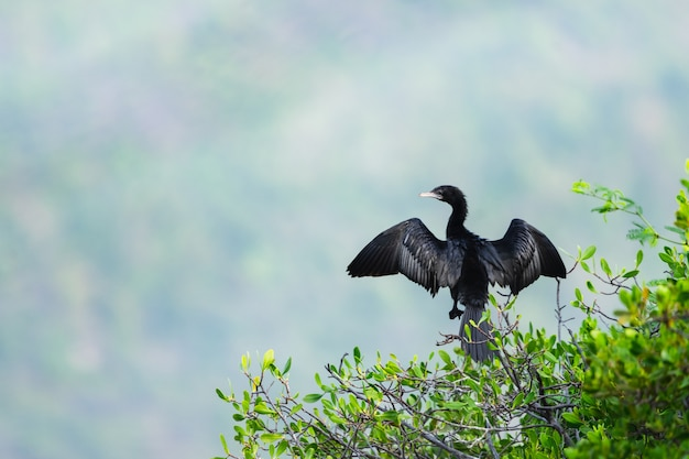 Great cormorant or phalacrocorax carbo stay on the tree branch.