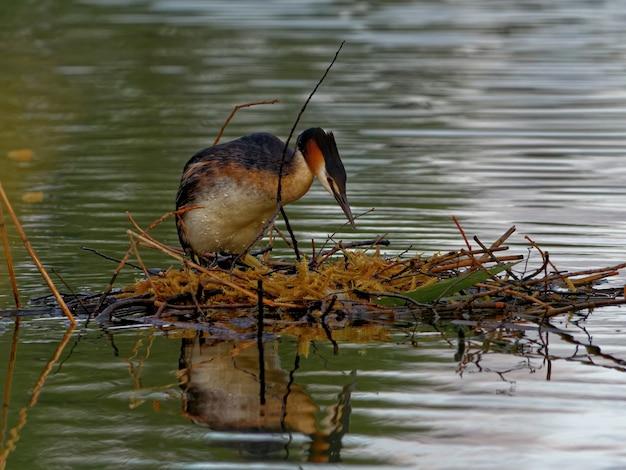 昼間の湖のカンムリカイツブリ