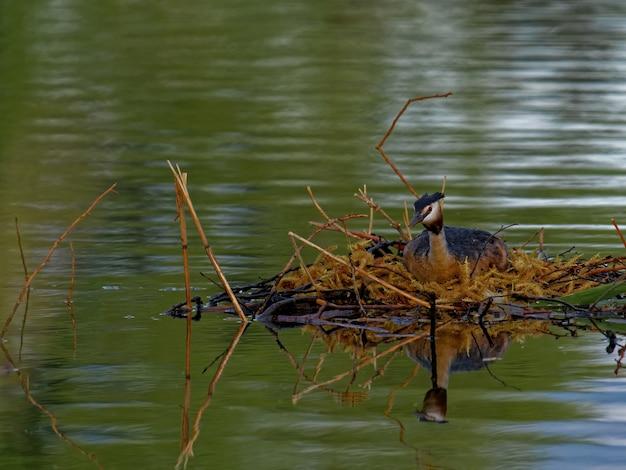 Большая хохлатая поганка (podiceps cristatus) в озере в дневное время
